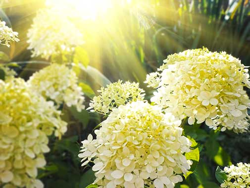HTop 5 Best and Worst Flowers for People With Allergies
