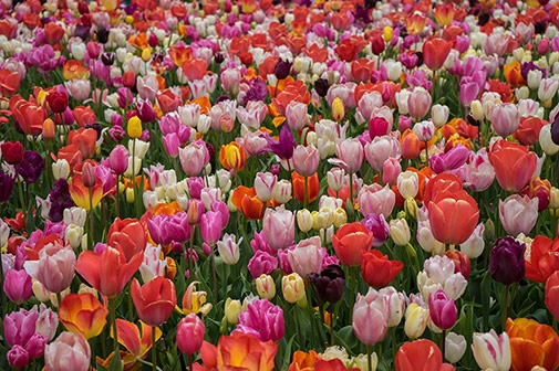 H5 Things to Know About the Tulips at Tulipmania – Gardens by the Bay
