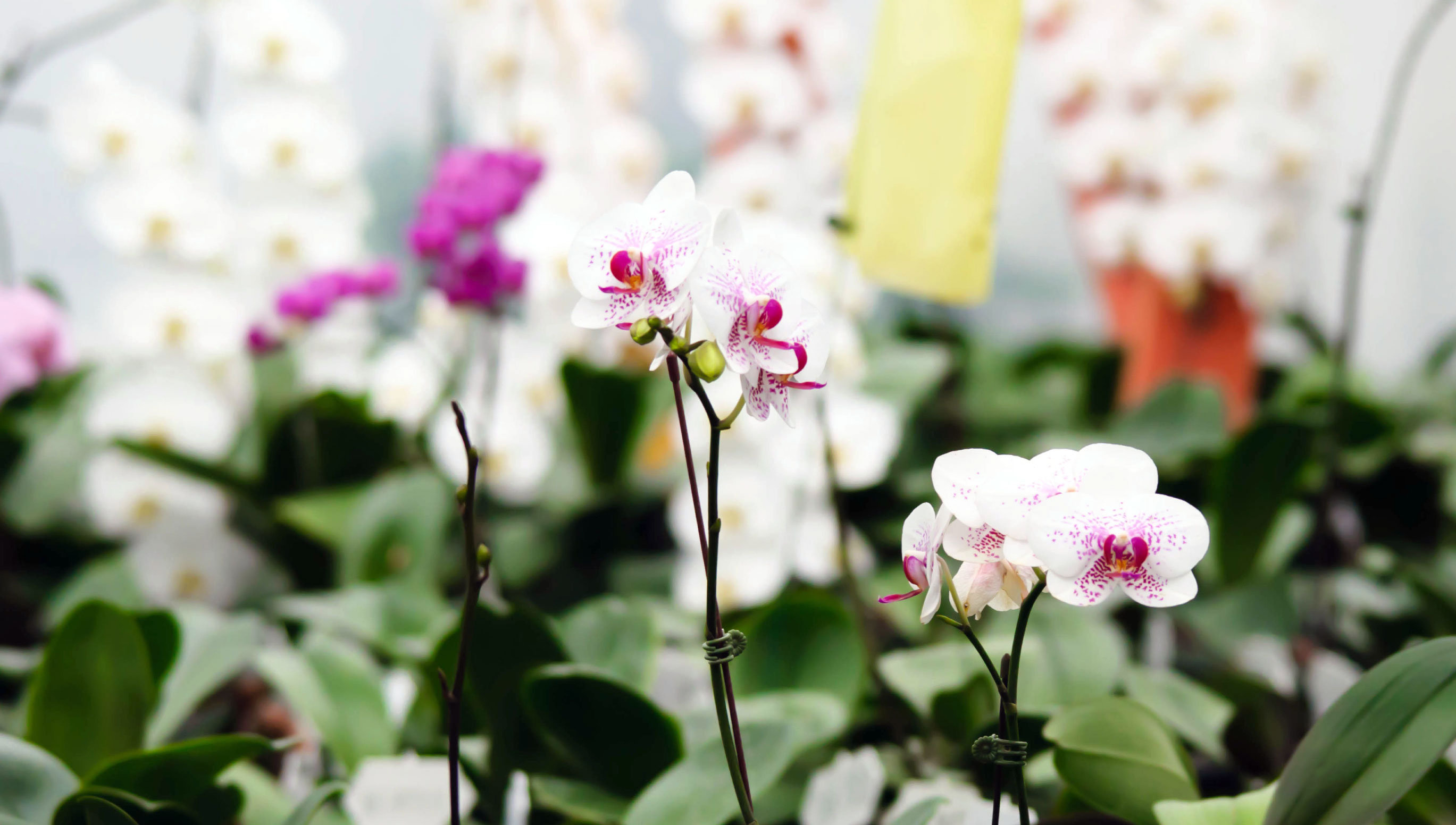 HOrchid Lover Must Go Singapore Garden Festival Orchid Show 2019